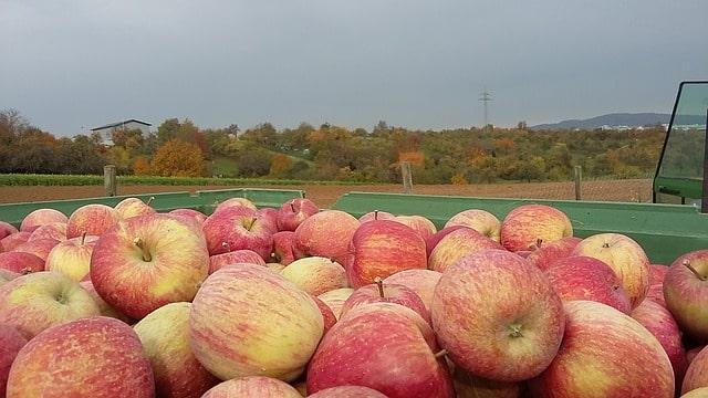 Den japanska äppelsorten Fuji som lämpar sig väl för äppelkakor.