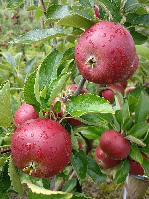 Äppelsorten Ingrid Marie som lämpar sig väl för äppelkakor.